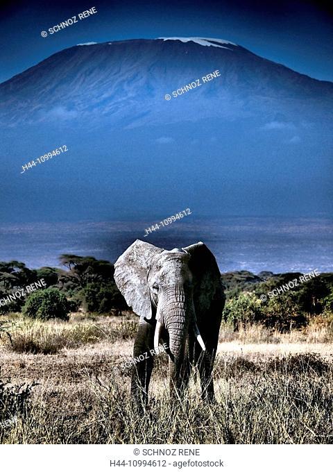 Kenya, Kenya, Kilimanjaro, Kilimanjaro, elephant, Amboseli, National Park, savanna, African elephant, safar, Kilimanjaro