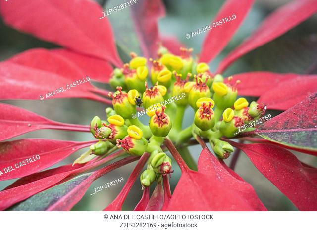 Christmas Poinsettia Single Red Flower Close-up, Festive Holiday Blooming Plant Tenerife garden Spain