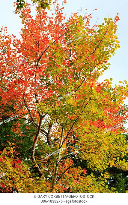maple trees changing color in the autumn