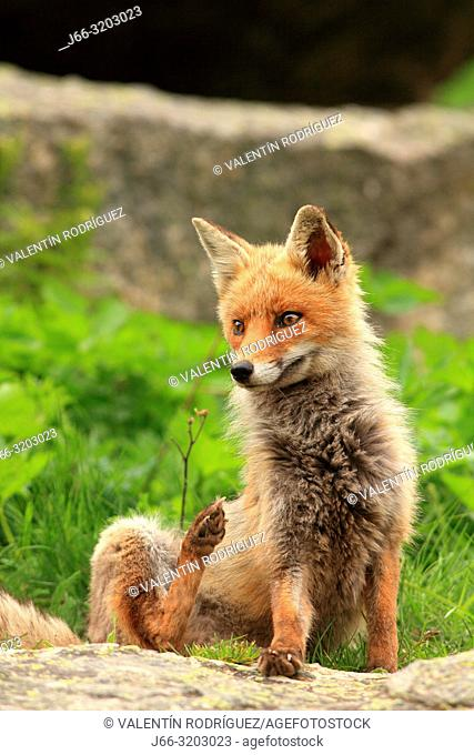 Fox (Vulpes vulpes) in the National Park Gran Paradiso. Italy