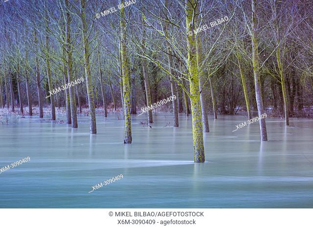 Flood poplar grove in the Urederra river banks. Allin, Navarre, Spain, Europe