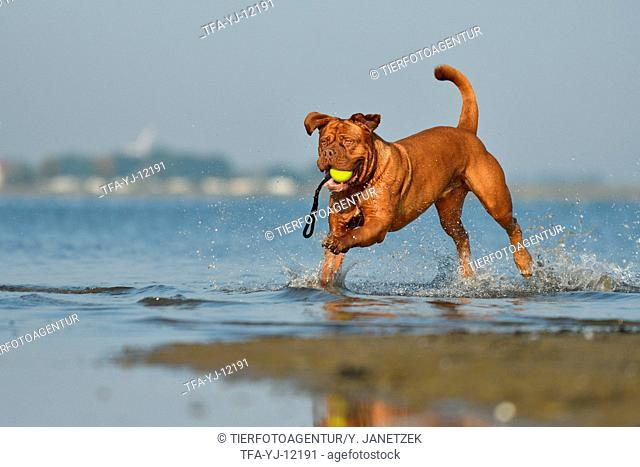 Dogue de Bordeaux in the water
