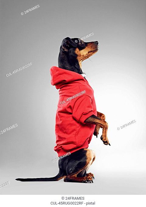 Dog wearing hooded sweatshirt