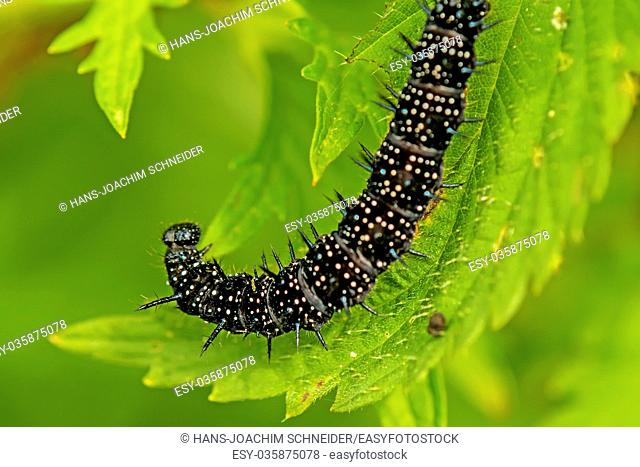 Caterpillar of peacock butterfly on stinging nettle