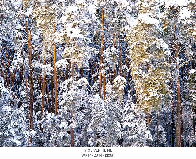 Winter forest, Rednitzhembach, Middle Franconia, Bavaria, Germany, Europe