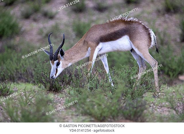 Springbok (Antodorcas marsupialis), after the rain, Kgalagadi Transfrontier Park in rainy season, Kalhari Desert, South Africa/Botswana