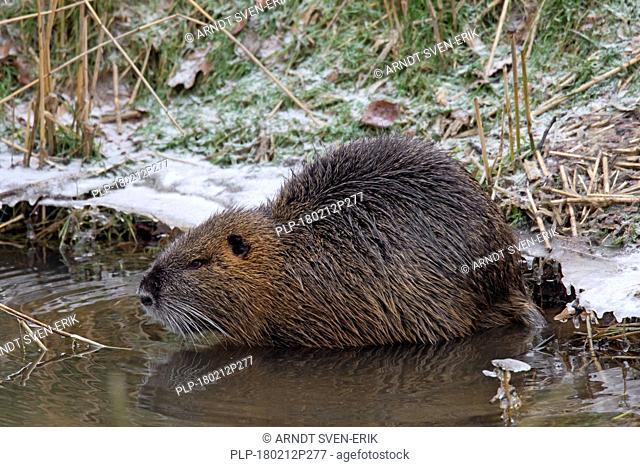 Coypu / river rat / nutria (Myocastor coypus) native to South America foraging along river bank in winter