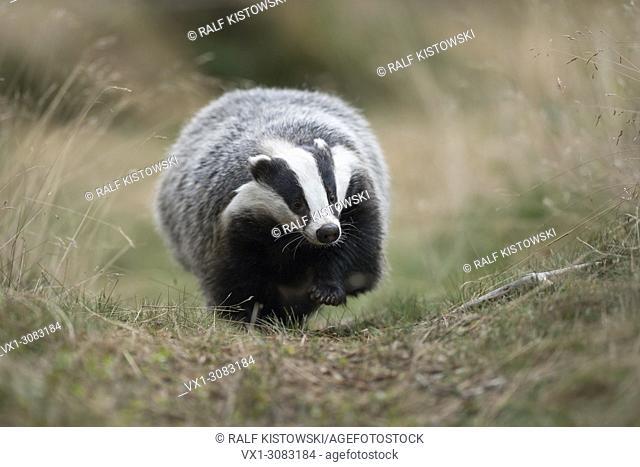 European Badger ( Meles meles ), adult animal, walking along a typical badger's path, comes closer, frontal shot, Europe
