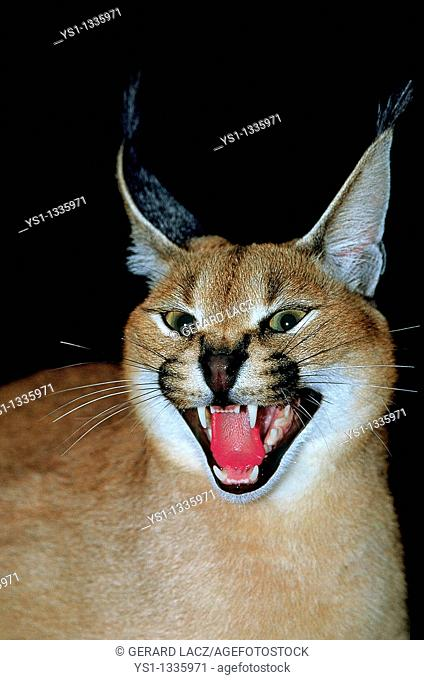CARACAL caracal caracal, ADULT SNARLING IN THREAT POSTURE
