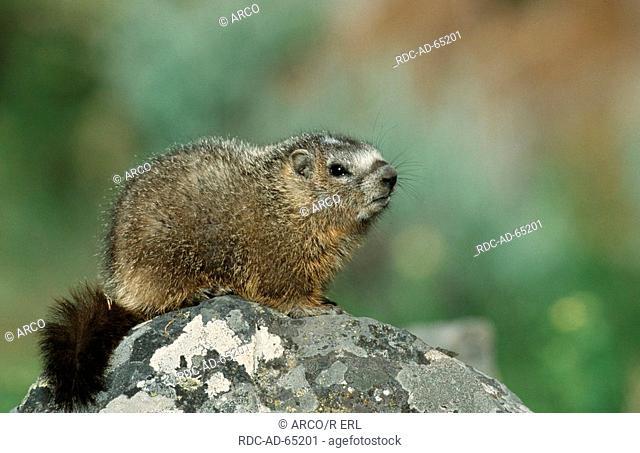 Yellow-bellied Marmot young Grand Teton national park Wyoming USA Marmota flaviventris