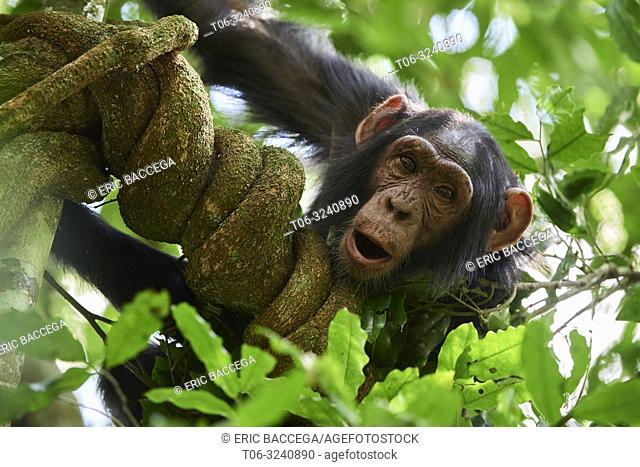 Chimpanzee juvenile (Pan troglodytes schweinfurthii) in a tree. Kibale National Park, Uganda