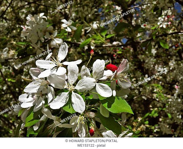 Flowering cherry trees (genus Prunus) (Prunus serrulata) or Japanese cherry in Descanso Garden, a public botanic garden near downtown Los Angeles