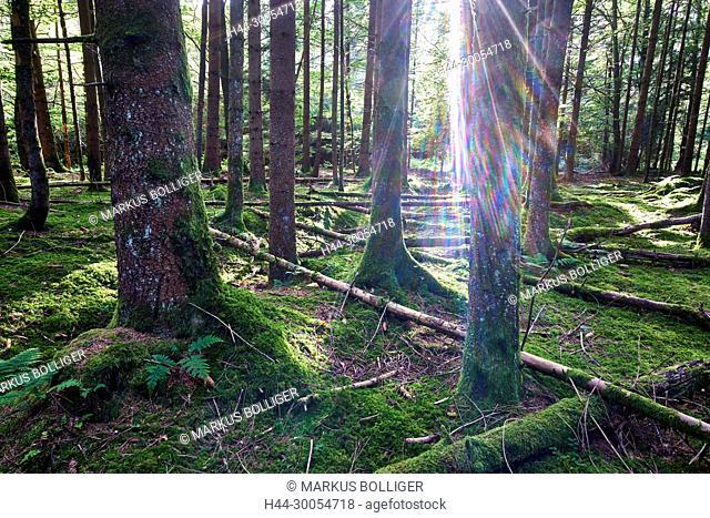 Heidi Wald, Leuzigen wood, Heidi Moos, spruce, forest, spruce forest, Leuzigewald, WWF, WWF reserve, wood, ecosystem, the sun, light, beam of light, sunray