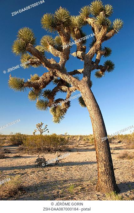 Joshua tree (Yucca brevifolia) growing in Joshua Tree National Park, California, USA