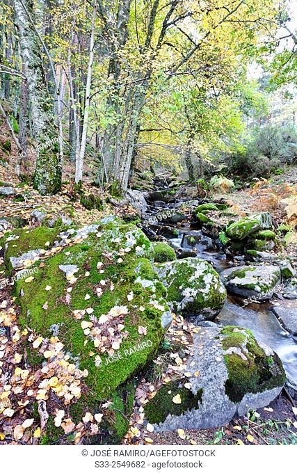 Sestil streaml in the Canencia Birch. Sierra de la Morcuera. Madrid. Spain. Europe