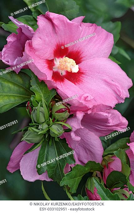 Rose of Sharon (Hibiscus syriacus). Called Syrian ketmia and Rose mallow also. Close up image os flowers and buds