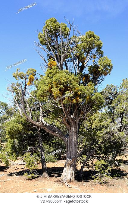 Utah juniper (Juniperus osteosperma) is a shrub or small tree native to southwestern USA. Specimen affected by juniper dwarf mistletoe (Arceuthobium oxycedri) a...