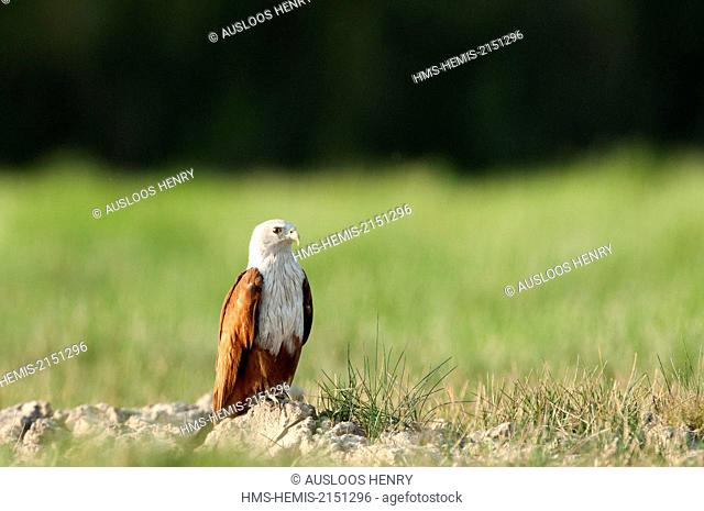 Thailand, Brahminy Kite (undue Haliastur)