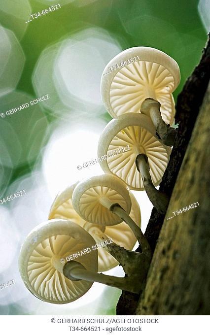 Porcelain Mushroom (Oudemansiella mucida), Schleswig-Holstein, Germany