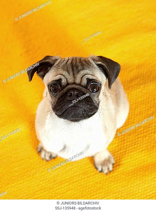 pug puppy - sitting restrictions: Tierratgeber-Bücher / animal guidebooks
