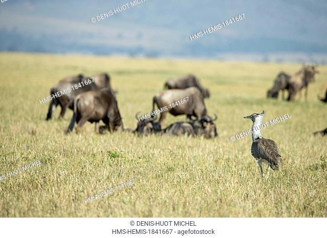 Kenya, Masai-Mara game reserve, Kori bustard (Ardeotis kori), and wildebeest