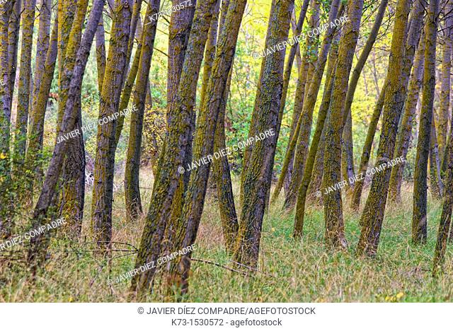 Black Poplars. Hoces del Duraton Natural Park. Segovia Province. Castilla y Leon. Spain