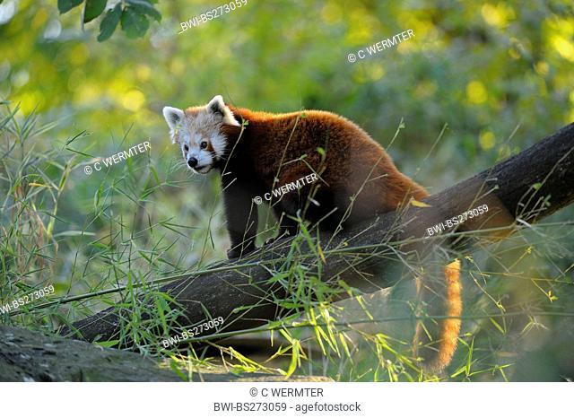 lesser panda, red panda Ailurus fulgens, sitting on a tree trunk