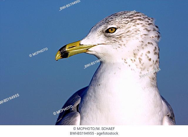 ring-billed gull (Larus delawarensis), portrait, USA, Florida