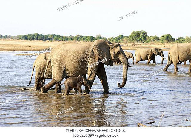 African elephant group on the move with very young calf crossing alongside its mother the Luangwa river (Loxodonta africana), South Luangwa National Park