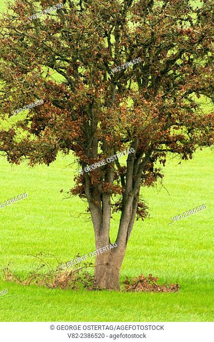 Oak in grass field, Linn County, Oregon