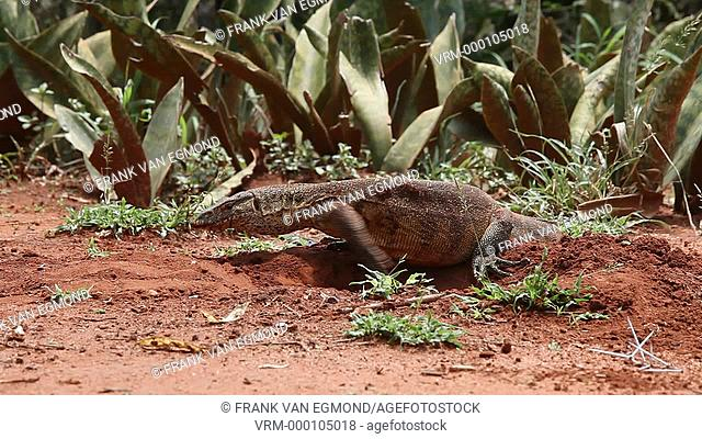 Nile Monitor Varanus Nilotictus digging a burrow above water level to lay eggs. Ndumo, South Africa
