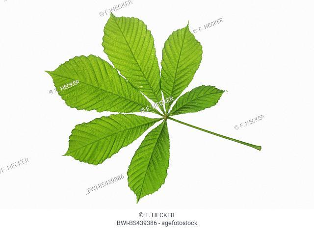 common horse chestnut (Aesculus hippocastanum), single leaf, cutout