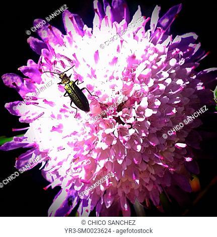 A green bug perches on a pink flower in Prado del Rey, Sierra de Cadiz, Andalusia, Spain