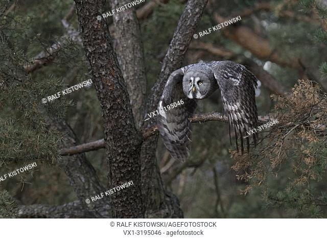 Great Grey Owl (Strix nebulosa) takes off for hunting, in flight, flying, frontal side shot, beating its wings, in fall, Europe