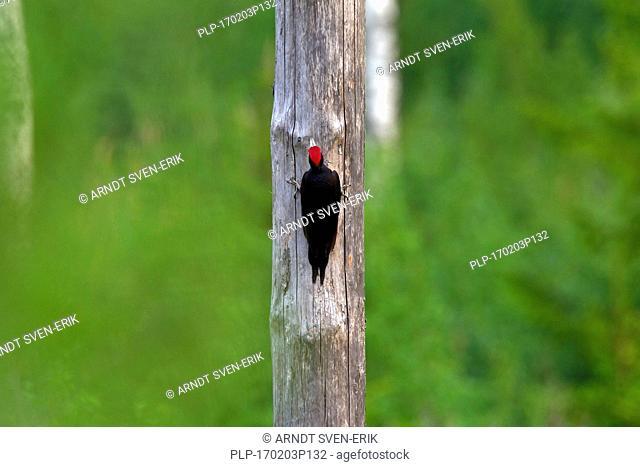 Black woodpecker (Dryocopus martius) male foraging along dead tree trunk in forest looking for grubs