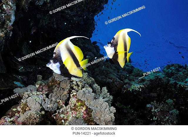 As with most other bannerfish species the Red Sea bannerfish Heniochus intermedius takes its name from its extended fourth dorsal spine Usually found in pairs...