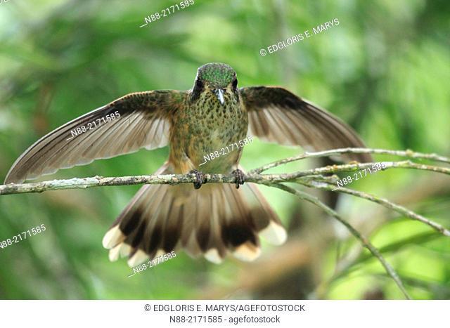 Speckled hummingbird perched, Topotepuy gardens, Oripopo, Venezuela