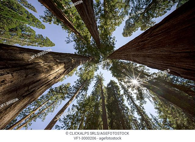Giant Sequoia Trees at Sequoia and Kings Canyon National Park, Visalia, Sierra Nevada, California; USA