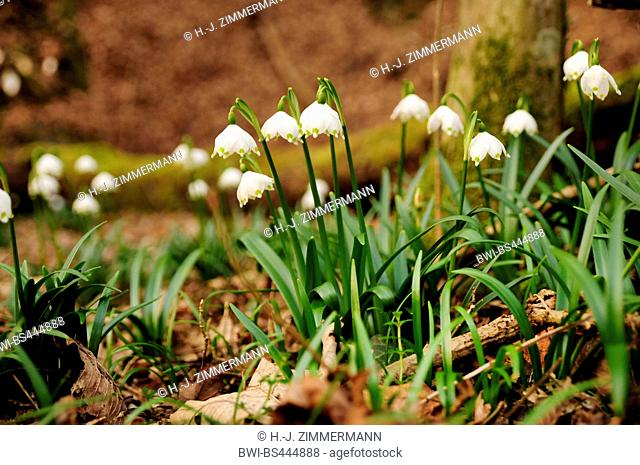 spring snowflake (Leucojum vernum), blooming in a forest, Germany, Rhineland-Palatinate