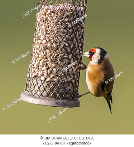 A Goldfinch (Carduelis carduelis) in a Norfolk garden
