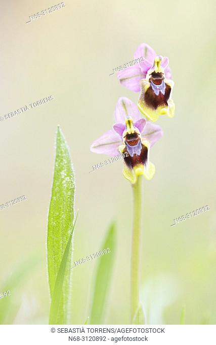 Sawfly orchids (Ophrys tenthredinifera), Alcudia, Majorca, Balearic Islands, Spain