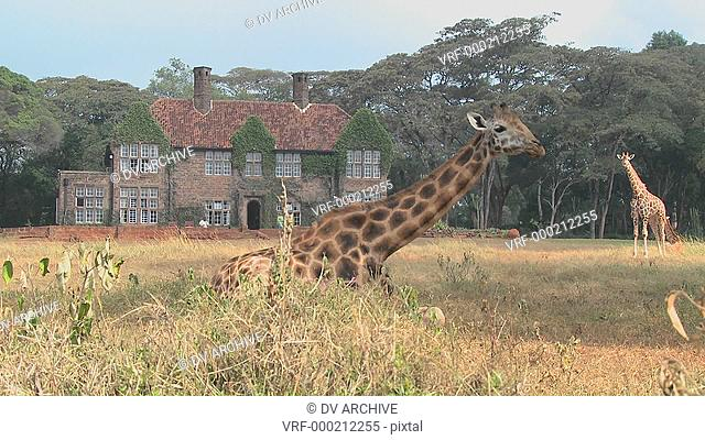 Giraffes mill around outside an old mansion in Kenya