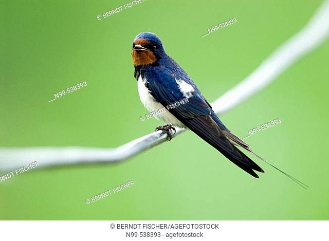 Swallow (Hirundo rustica), sitting on a file and singing, Lake of Neusiedel, National Park, Austria