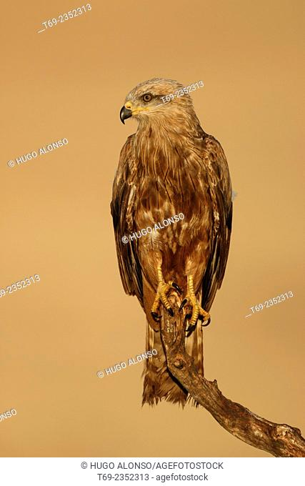Black kite. Milvus migrans