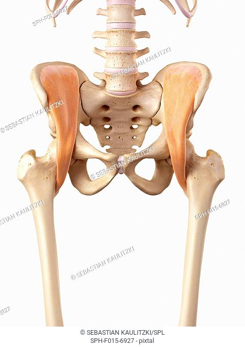 Human hip muscles, illustration