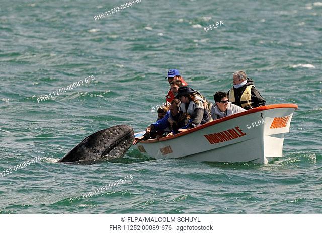 Grey Whale Eschrichtius robustus calf, investigating tourists in whalewatching boat, San Ignacio, Baja California, Mexico
