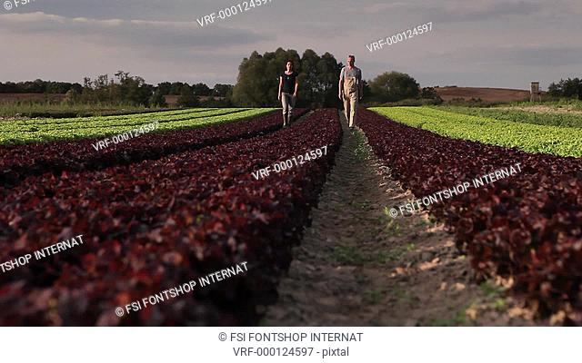 TU, WS Front View, man and woman walking amongst rows of lettuce on an organic farm