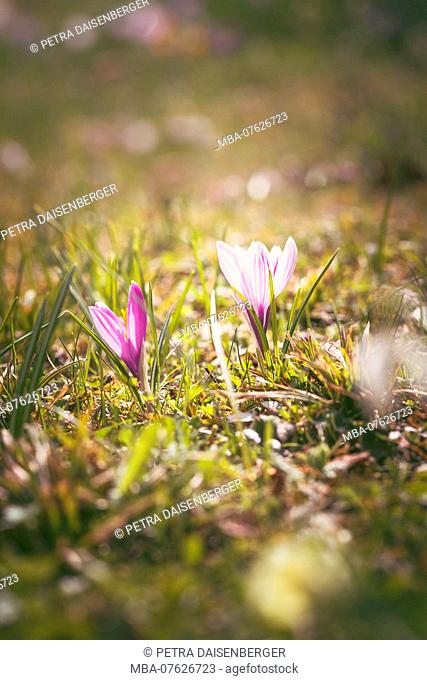 Spring messengers, the crocus filling the garden with colour