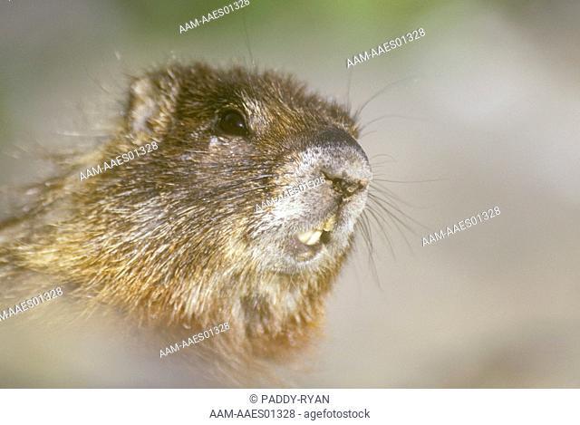 Yellow-bellied-Marmot-(Marmota-flaviventris)-Jackson-Hole,-WY