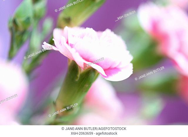 gorgeous fragrant carnations on purple background